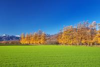 北海道 カラマツ林の秋