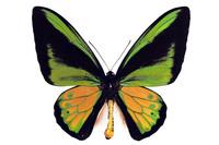 蝶 標本 ゴライアストリバネアゲハ インドネシア