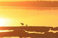 北海道 夕日の湖面とタンチョウ親子
