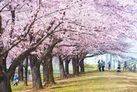 東京都 北区 荒川土手 ソメイヨシノ