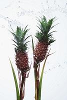 パイナップル アナナス