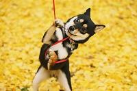 黄葉と柴犬