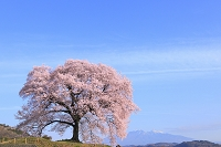 山梨県 王仁塚の桜と八ヶ岳