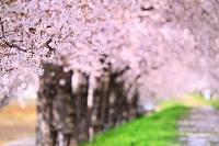 桜の花と桜並木