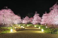 鈴鹿の森庭園の枝垂れ梅 夜景
