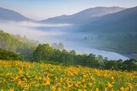 群馬県 ノゾリキスゲ咲く霧の朝の野反湖