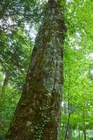 岐阜県 ブナの樹