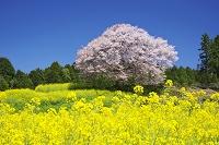 佐賀県 馬場の山桜と菜の花