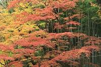 静岡県 修善寺温泉 桂川沿いの楓の紅葉