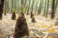 竹の子と竹林