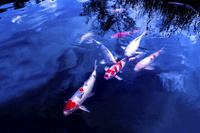 池のニシキゴイ