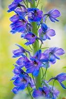 花壇の花 デルフィニウム