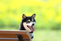 ベンチに座る柴犬