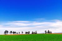 北海道 初夏の緑の丘の並木 青空