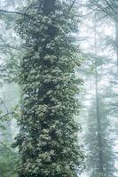 長野県 霧の林のツルアジサイ