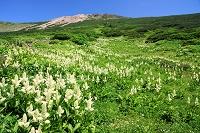 石川県 室堂に咲くコバイケイソウ群落と白山