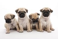 パグ 4頭の仔犬