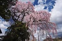 福島県 馬場の桜