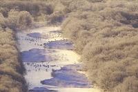 日本 北海道 雪裡川の朝とタンチョウ
