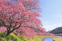 静岡県 青野川沿いに咲くみなみ桜