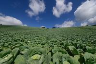 岩手県 奥中山高原 キャベツ畑
