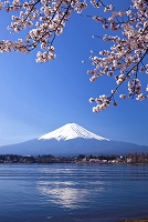 山梨県 河口湖畔のサクラと富士山