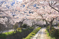 京都府 哲学の道 朝の疎水沿いの関雪桜並木