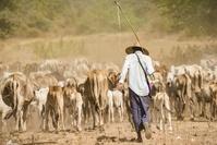 ミャンマーの放牧