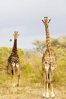 南アフリカ キリン