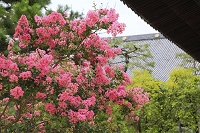 京都府 知恩寺の百日紅の花