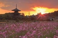 奈良県 法起寺とコスモス