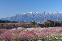 三重県 梅と藤原岳