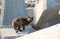 テトラポッドの上のサビ猫