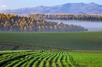 北海道 美瑛 秋蒔き小麦の畝と朝霧