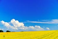 北海道 黄金色の小麦畑の丘と雲湧く夏空