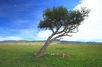ケニア アフリカ ライオン