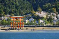 広島県 桜咲く宮島 厳島神社 大鳥居と多宝塔