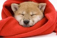 赤いマフラーにくるまれている柴犬の寝顔