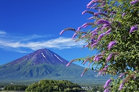 山梨県 フサフジウツギ咲く大石公園より富士山