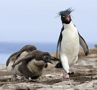 イワトビペンギンの親子