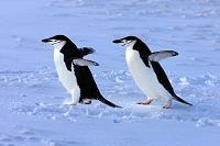 南極 アゴヒゲペンギン
