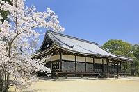 京都府 仁和寺の金堂と桜