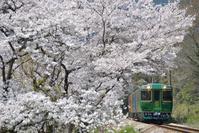 徳島県 徳島線 満開の桜とキハ185系特急四国まんなか千年もの...