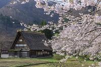 岐阜県 桜の白川郷