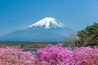 山梨県 精進湖のミツバツツジと富士山