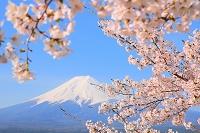 山梨県 新倉山浅間公園から見る富士山と桜