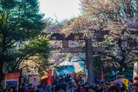 東京都 上野公園 鳥居 桜