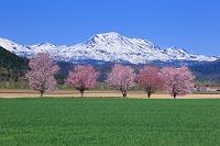 北海道 桜と旭岳