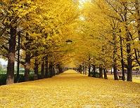 東京都 立川市 イチョウ並木