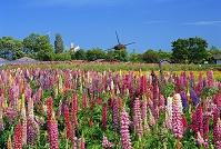 滋賀県 ルピナスの風車村